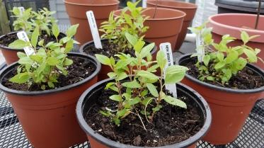 New Jersey tea seedlings