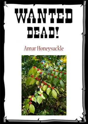 wanted poster invasive amur honeysuckle